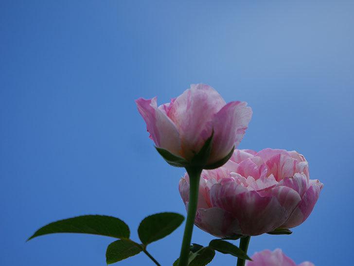 エドゥアール・マネ(Edouard Manet)の夏花が房で咲いた。半ツルバラ。2020年-024.jpg
