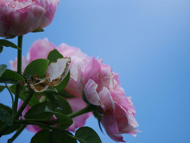 エドゥアール・マネ(Edouard Manet)の夏花が房で咲いた。半ツルバラ。2020年-025.jpg