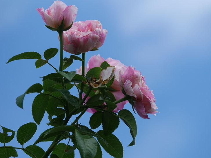エドゥアール・マネ(Edouard Manet)の夏花が房で咲いた。半ツルバラ。2020年-026.jpg