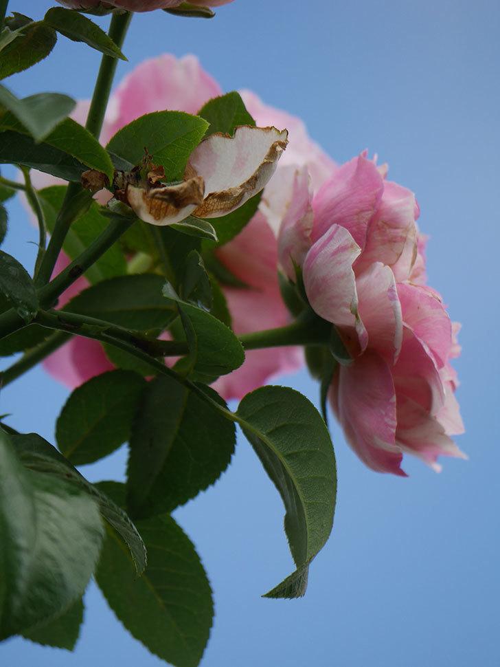 エドゥアール・マネ(Edouard Manet)の夏花が房で咲いた。半ツルバラ。2020年-029.jpg