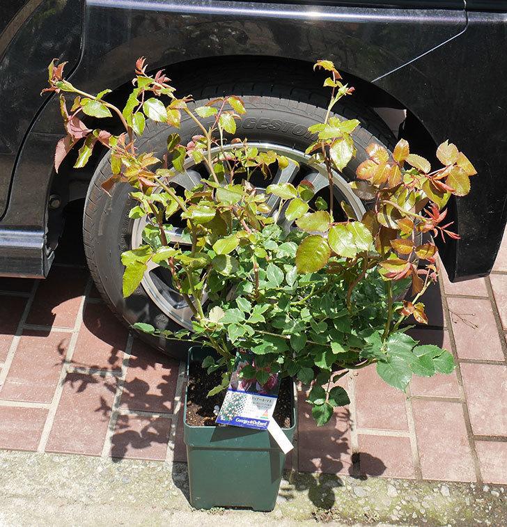 エドゥアール・マネ(ツルバラ)の大苗を楽天のバラの家で買った。2019年-1.jpg