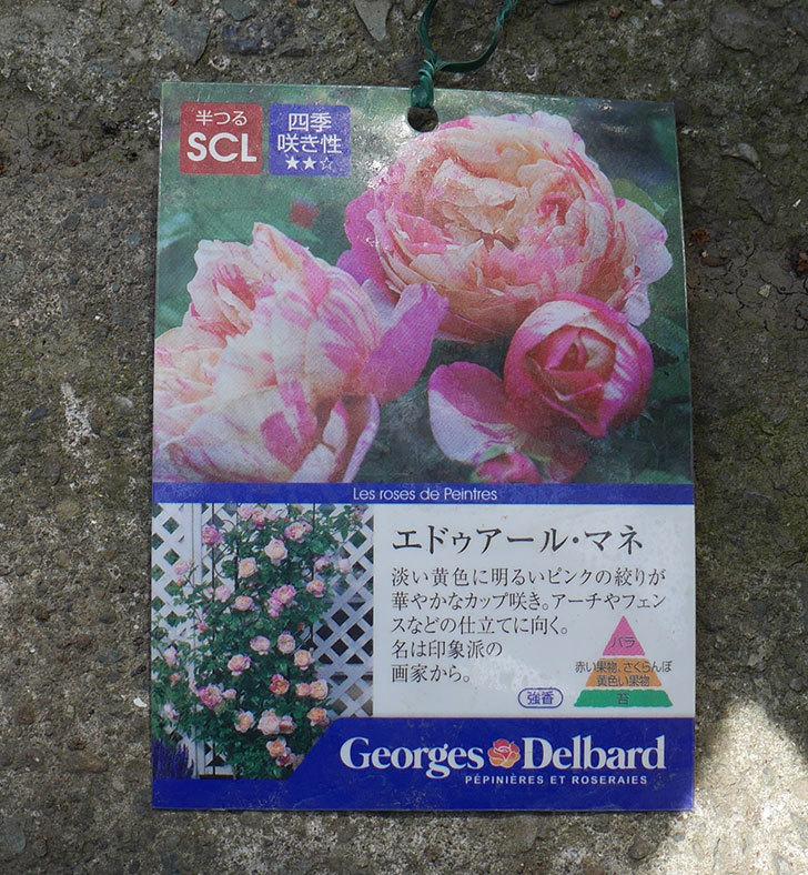 エドゥアール・マネ(ツルバラ)の大苗を楽天のバラの家で買った。2019年-4.jpg