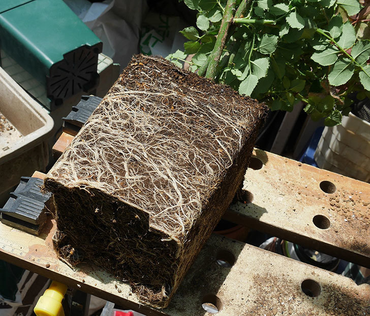 エドゥアール・マネ(ツルバラ)の大苗をEUスリット鉢-EU-24L(8号深鉢)に植えた。2019年-1.jpg