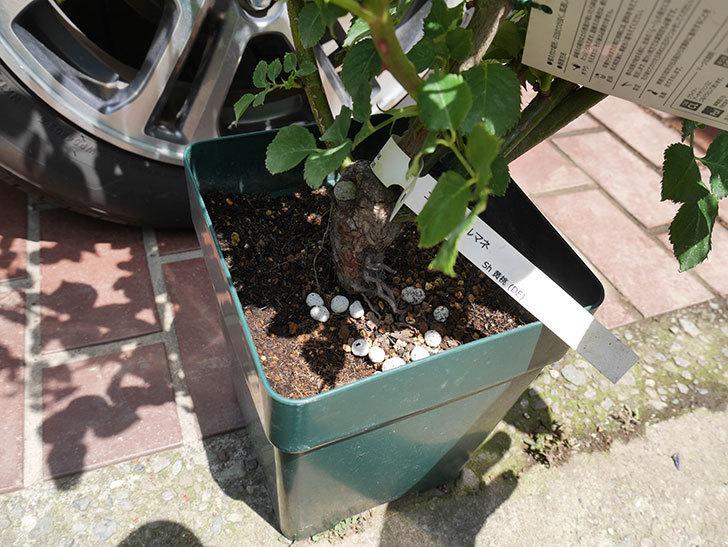 エドゥアール・マネ(ツルバラ)の大苗をEUスリット鉢-EU-24L(8号深鉢)に植えた。2019年-2.jpg