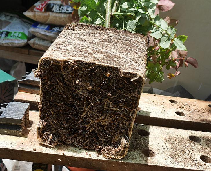エドゥアール・マネ(ツルバラ)の大苗をEUスリット鉢-EU-24L(8号深鉢)に植えた。2019年-3.jpg