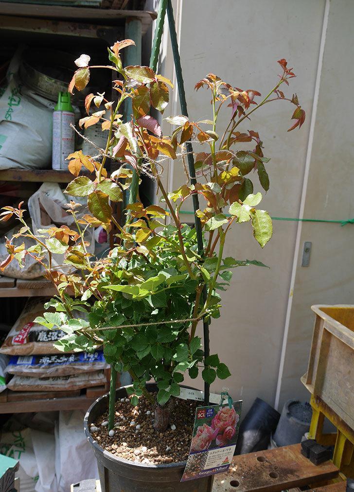 エドゥアール・マネ(ツルバラ)の大苗をEUスリット鉢-EU-24L(8号深鉢)に植えた。2019年-5.jpg