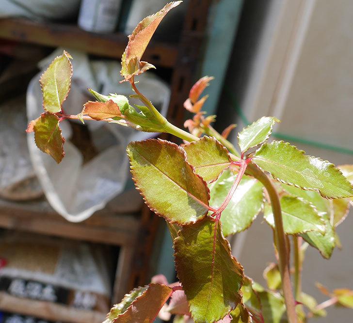 エドゥアール・マネ(ツルバラ)の大苗をEUスリット鉢-EU-24L(8号深鉢)に植えた。2019年-6.jpg