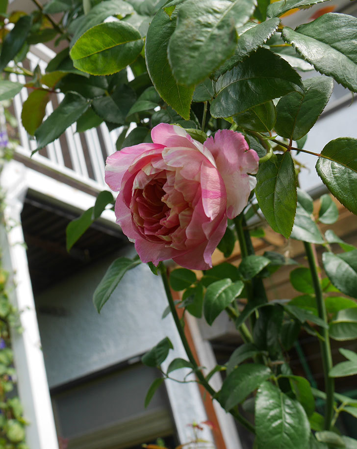 エドゥアール・マネ(半ツルバラ)の秋花が咲いた。2019年-3.jpg