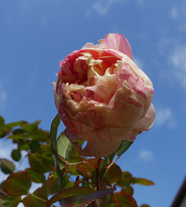 エドゥアール・マネ(半ツルバラ)の花が1個残っていた。2020年-1.jpg