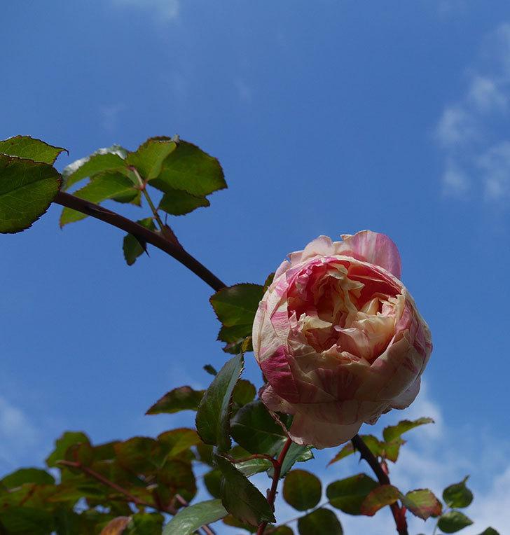 エドゥアール・マネ(半ツルバラ)の花が1個残っていた。2020年-2.jpg