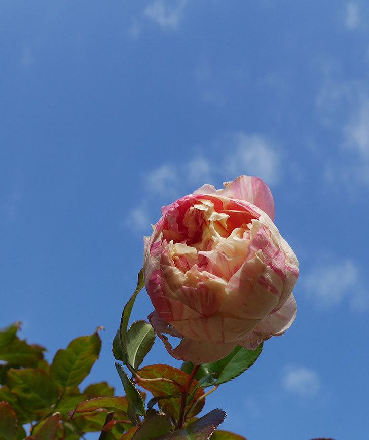 エドゥアール・マネ(半ツルバラ)の花が1個残っていた。2020年-3.jpg