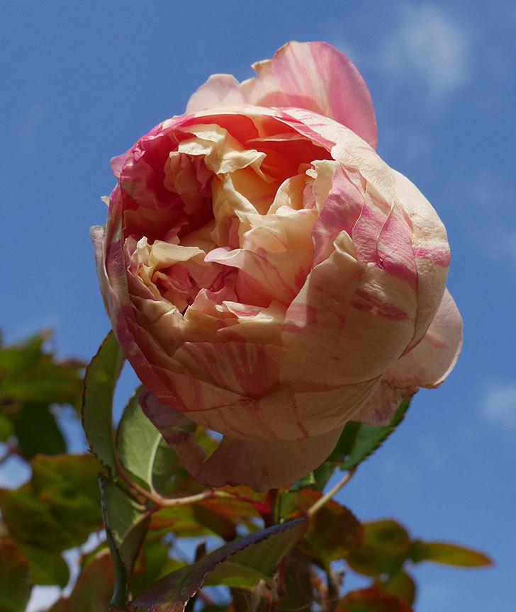 エドゥアール・マネ(半ツルバラ)の花が1個残っていた。2020年-4.jpg