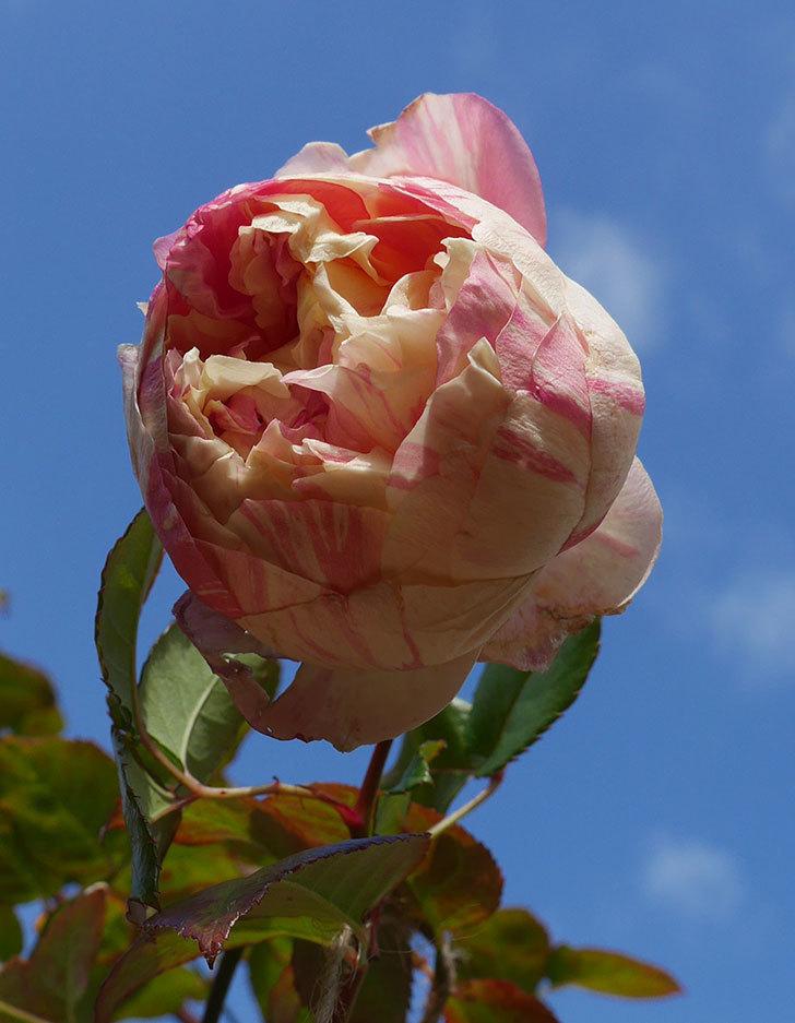 エドゥアール・マネ(半ツルバラ)の花が1個残っていた。2020年-5.jpg