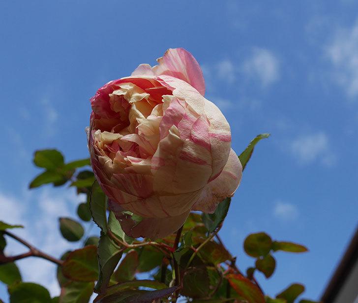 エドゥアール・マネ(半ツルバラ)の花が1個残っていた。2020年-6.jpg