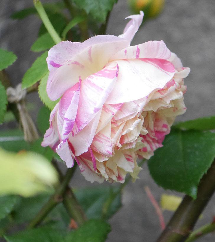 エドゥアール・マネ(半ツルバラ)の花がたくさん咲いた。2020年-10.jpg