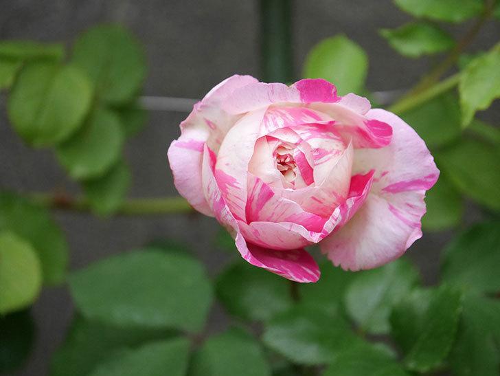 エドゥアール・マネ(半ツルバラ)の花がたくさん咲いた。2020年-12.jpg