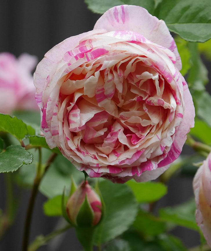 エドゥアール・マネ(半ツルバラ)の花がたくさん咲いた。2020年-14.jpg