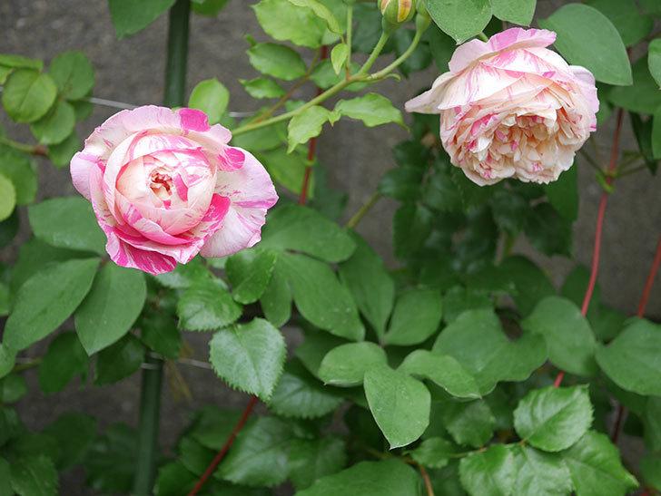 エドゥアール・マネ(半ツルバラ)の花がたくさん咲いた。2020年-15.jpg