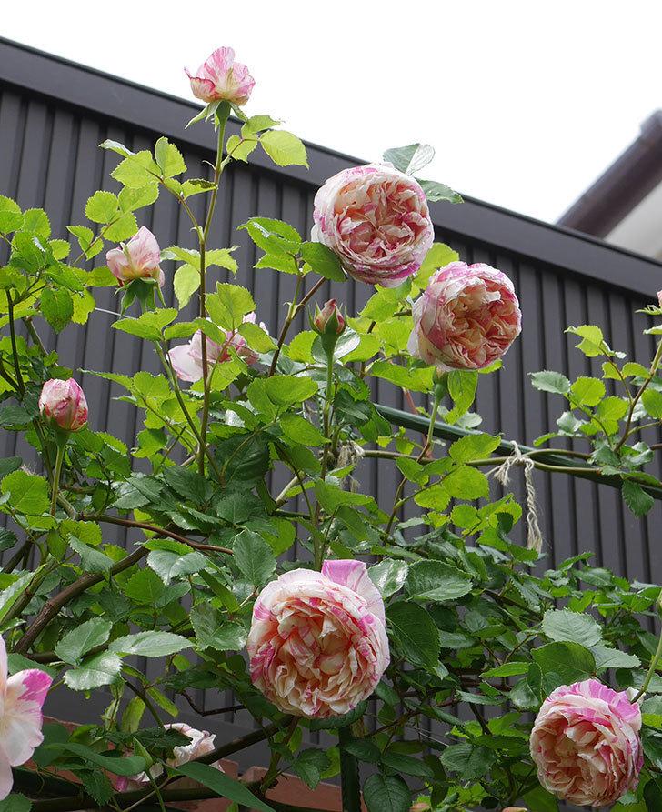 エドゥアール・マネ(半ツルバラ)の花がたくさん咲いた。2020年-2.jpg