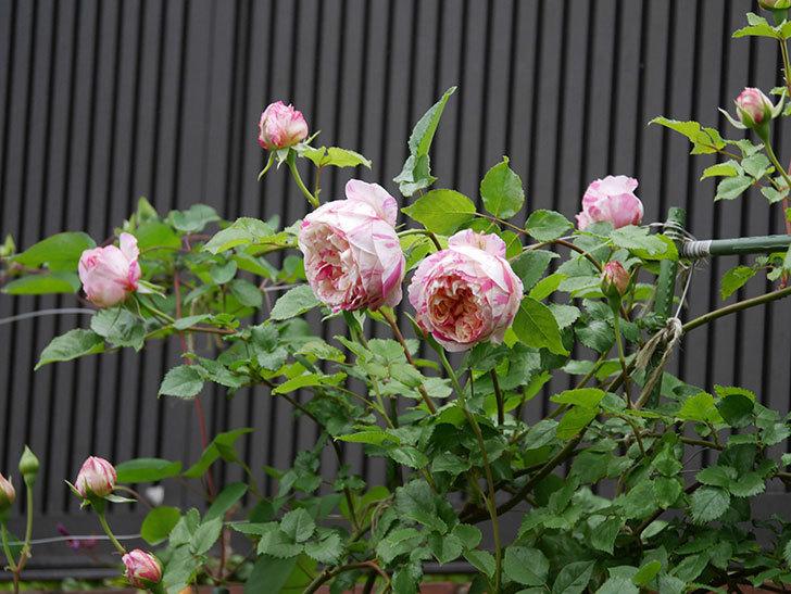 エドゥアール・マネ(半ツルバラ)の花がたくさん咲いた。2020年-4.jpg