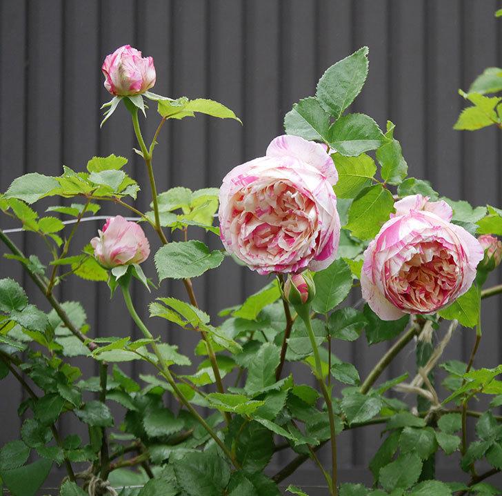 エドゥアール・マネ(半ツルバラ)の花がたくさん咲いた。2020年-7.jpg