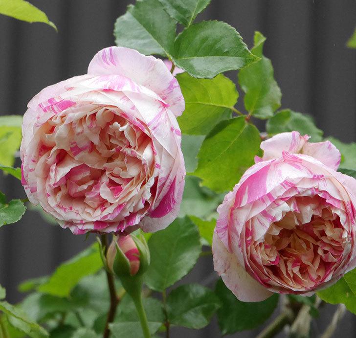 エドゥアール・マネ(半ツルバラ)の花がたくさん咲いた。2020年-8.jpg
