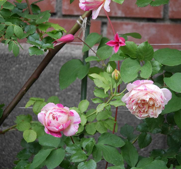 エドゥアール・マネ(半ツルバラ)の花がたくさん咲いた。2020年-9.jpg
