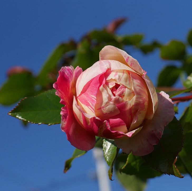 エドゥアール・マネ(半ツルバラ)の花がまだ咲いている。2019年-1.jpg