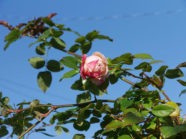 エドゥアール・マネ(半ツルバラ)の花がまだ咲いている。2019年-2.jpg