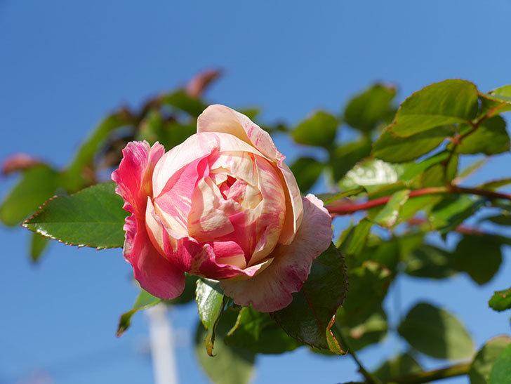 エドゥアール・マネ(半ツルバラ)の花がまだ咲いている。2019年-3.jpg