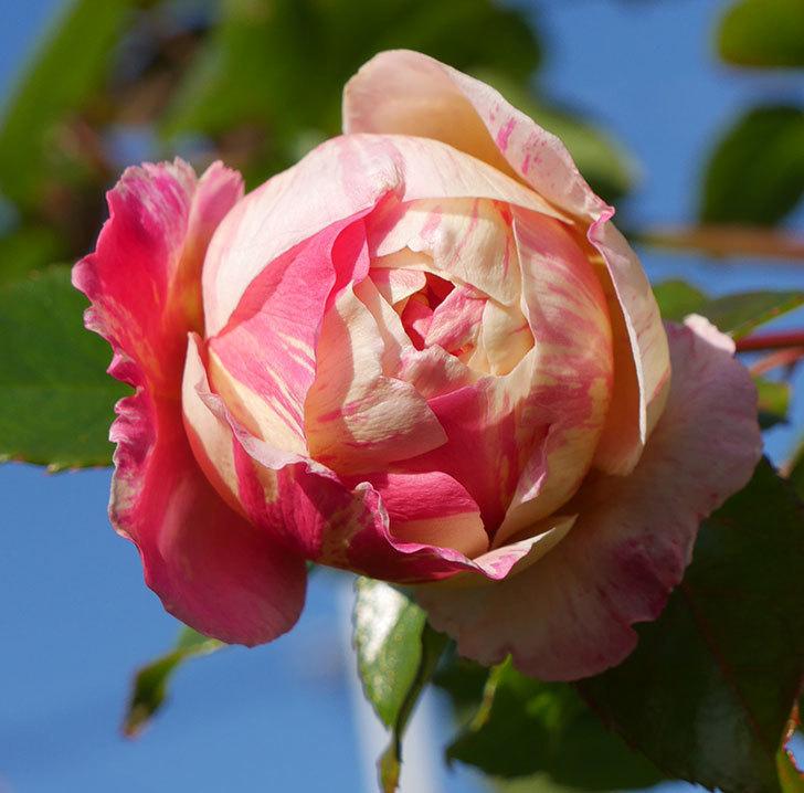 エドゥアール・マネ(半ツルバラ)の花がまだ咲いている。2019年-4.jpg