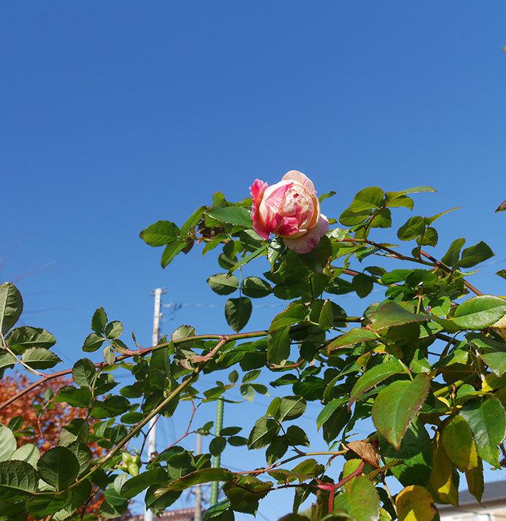 エドゥアール・マネ(半ツルバラ)の花がまだ咲いている。2019年-5.jpg