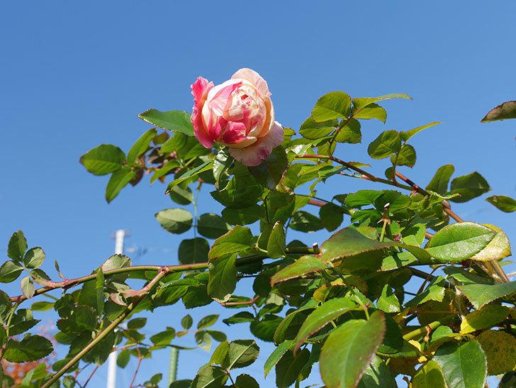 エドゥアール・マネ(半ツルバラ)の花がまだ咲いている。2019年-6.jpg