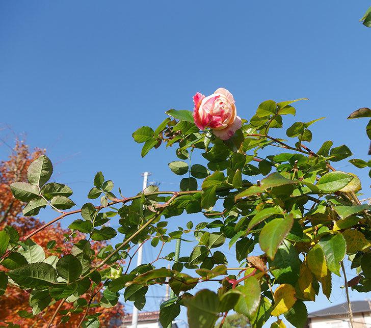 エドゥアール・マネ(半ツルバラ)の花がまだ咲いている。2019年-7.jpg