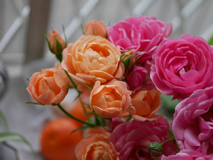 エドゥアール・マネ(半ツルバラ)の花が咲いた。2019年-11.jpg