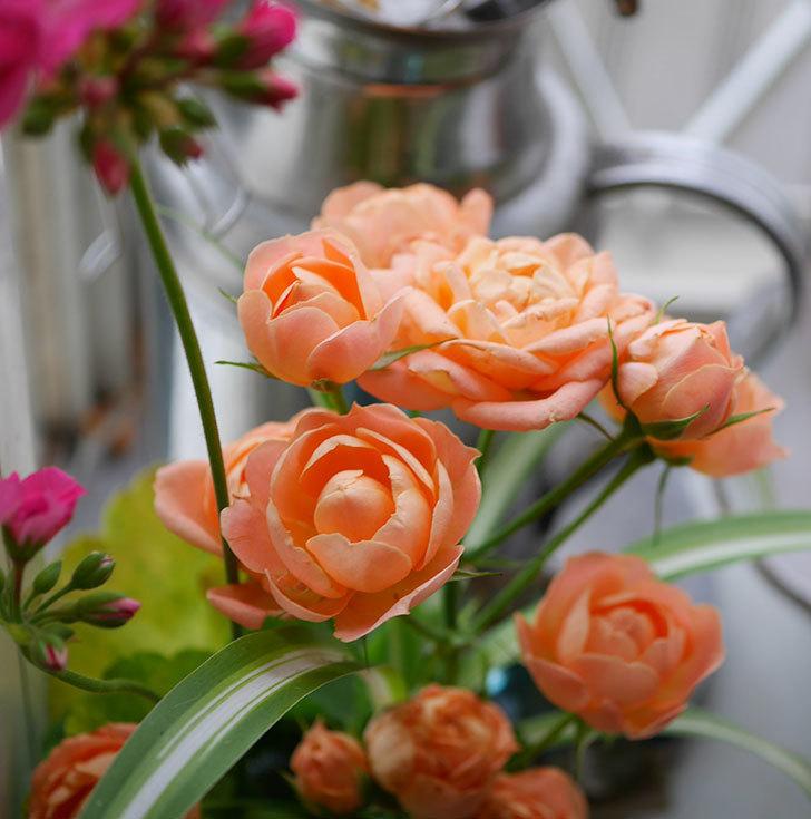 エドゥアール・マネ(半ツルバラ)の花が咲いた。2019年-12.jpg