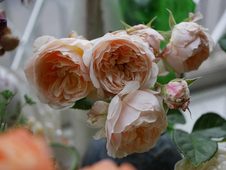 エドゥアール・マネ(半ツルバラ)の花が咲いた。2019年-13.jpg