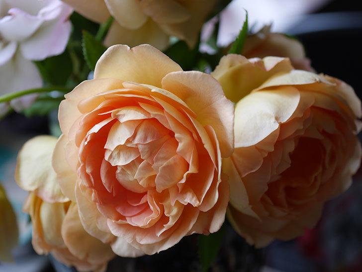 エドゥアール・マネ(半ツルバラ)の花が咲いた。2019年-15.jpg