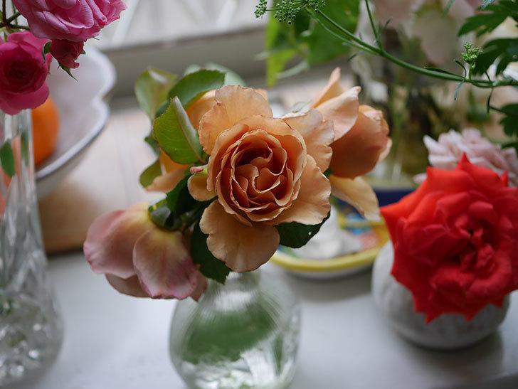 エドゥアール・マネ(半ツルバラ)の花が咲いた。2019年-17.jpg