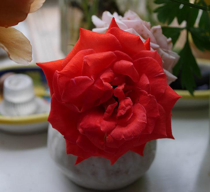 エドゥアール・マネ(半ツルバラ)の花が咲いた。2019年-19.jpg