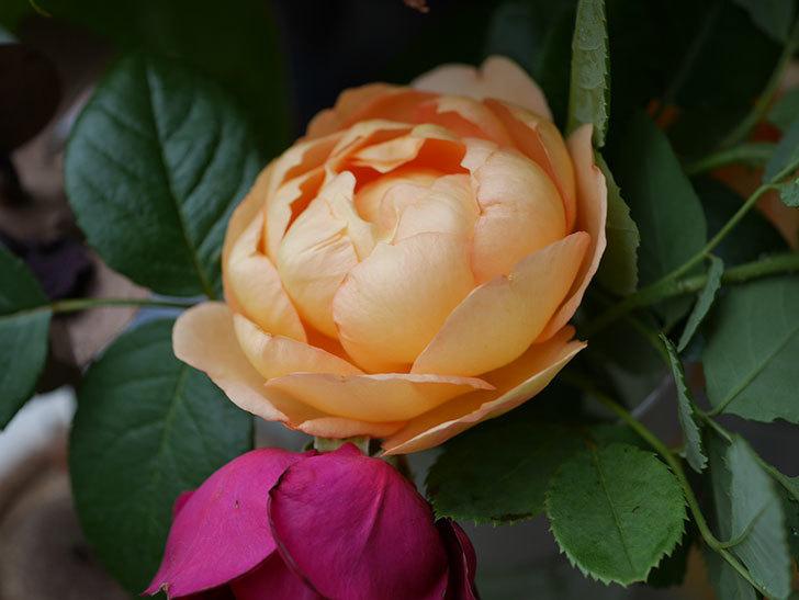 エドゥアール・マネ(半ツルバラ)の花が咲いた。2019年-20.jpg