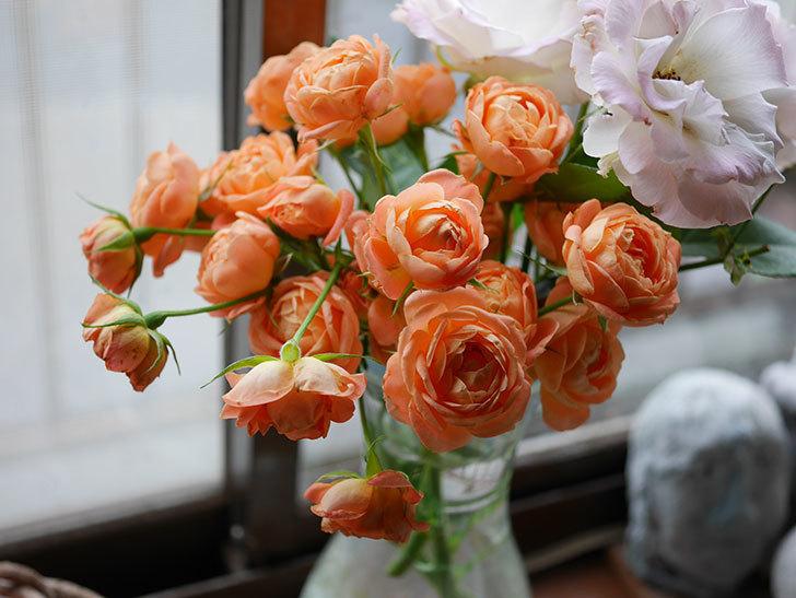エドゥアール・マネ(半ツルバラ)の花が咲いた。2019年-21.jpg