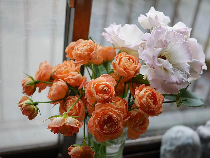 エドゥアール・マネ(半ツルバラ)の花が咲いた。2019年-22.jpg