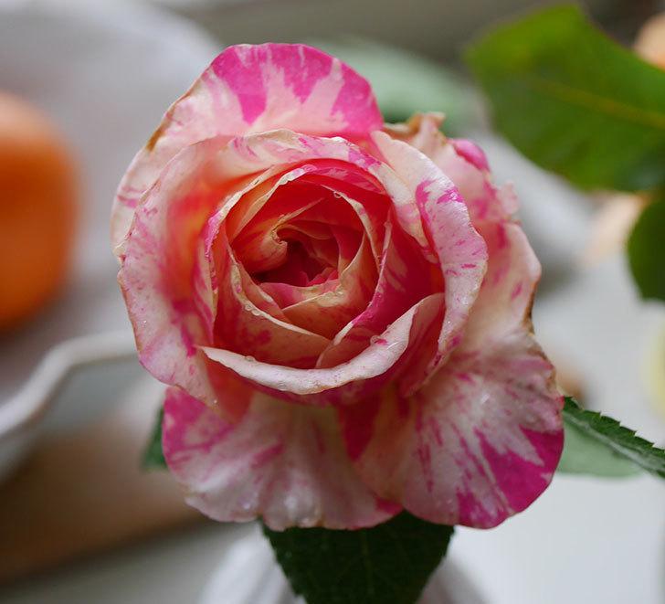 エドゥアール・マネ(半ツルバラ)の花が咲いた。2019年-6.jpg