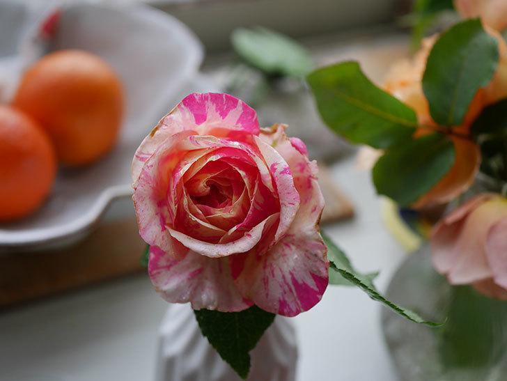 エドゥアール・マネ(半ツルバラ)の花が咲いた。2019年-8.jpg