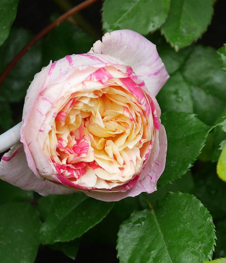 エドゥアール・マネ(半ツルバラ)の花が咲いた。2020年-1.jpg