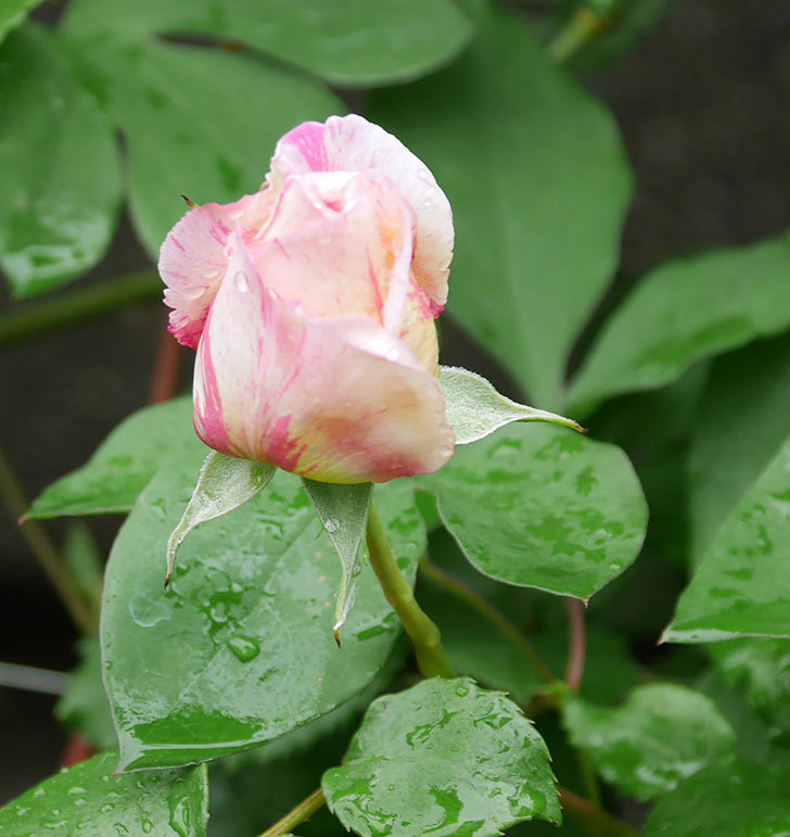 エドゥアール・マネ(半ツルバラ)の花が咲いた。2020年-2.jpg
