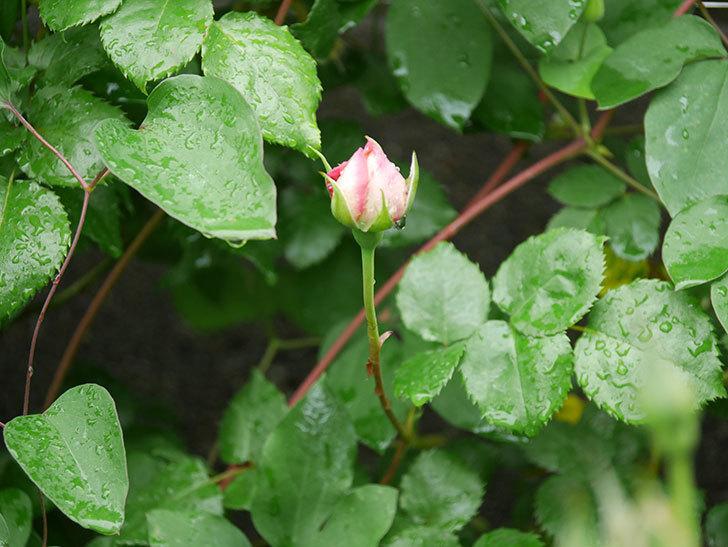 エドゥアール・マネ(半ツルバラ)の花が咲いた。2020年-3.jpg