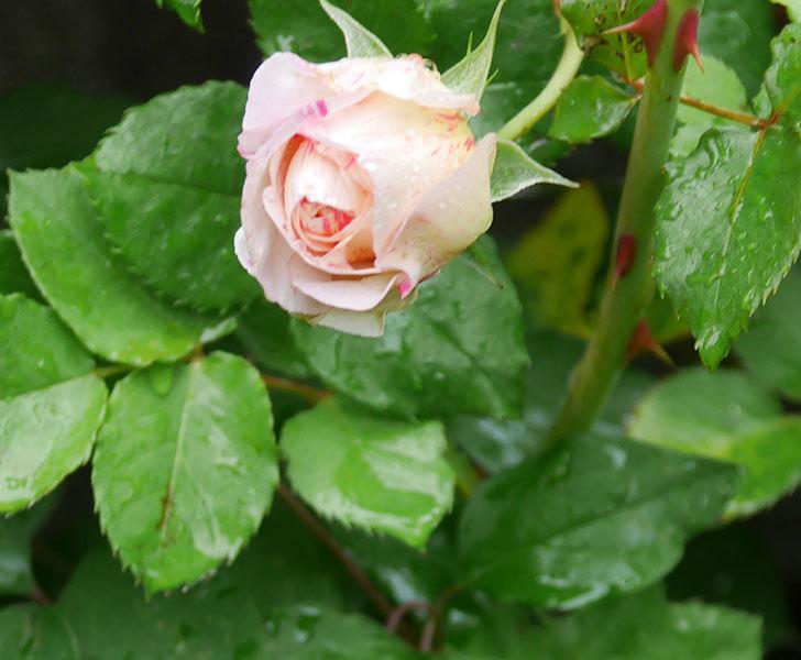エドゥアール・マネ(半ツルバラ)の花が咲いた。2020年-4.jpg