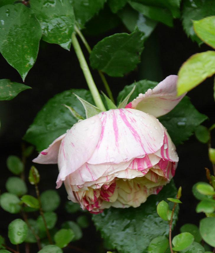 エドゥアール・マネ(半ツルバラ)の花が咲いた。2020年-5.jpg